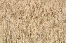 Common Reed &x28;Phragmites&x29; Royalty Free Stock Photo