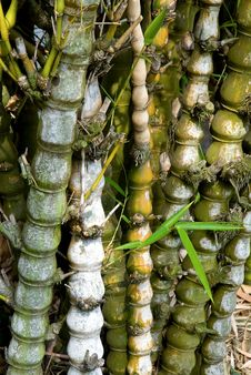 Free Bamboo Tree Forest Stock Photo - 25171940