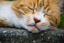 Free Red Cat Sleeping Stock Photo - 25177520
