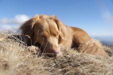 Free Sleeping NOVA SCOTIA RETRIEVER Stock Images - 25183514