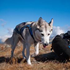 Free Siberian Husky On The Mountains Stock Photo - 25183520