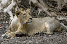 Free A Male  Lion Stock Photo - 25186700