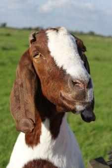 Free Smiling Goat Stock Photo - 25188530