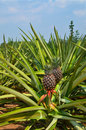 Free Fresh Pineapple In Farm Stock Photography - 25190872