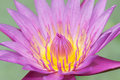 Free Water Lily Lotus Flower Royalty Free Stock Photography - 25193307
