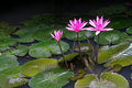 Free Pink Lotus Flower Above A Lotus Leaf. Stock Photography - 25196872