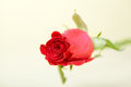 Free Red Rose Royalty Free Stock Photography - 25199207