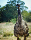 Free Australian Emu Standing Tall Stock Photo - 25199320