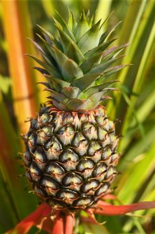 Free Fresh Pineapple In Farm Royalty Free Stock Image - 25191086