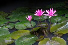 Pink Lotus Flower Above A Lotus Leaf. Stock Photography