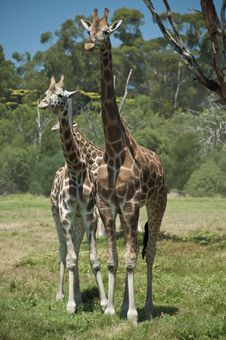 Free Two Giraffes On The Lookout Royalty Free Stock Photography - 25199687
