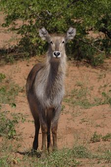 Free Waterbuck Female Royalty Free Stock Photography - 2520027