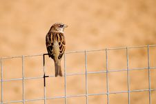 Free Sparrow On The Fence Stock Photos - 2520433