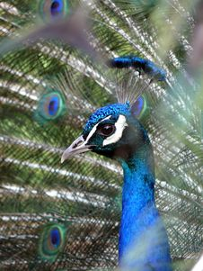 Free Peacock Royalty Free Stock Photo - 2521165