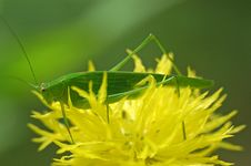 Free Tiny Green Color Grasshopper Stock Image - 2523281