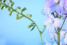 Free Blue Flower Royalty Free Stock Photo - 2523615