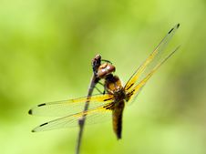 Free Dragonfly Royalty Free Stock Photo - 2524225