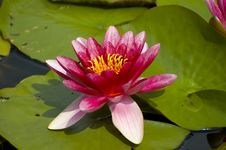 Free Pink Tropical Waterlily Stock Photo - 2524460