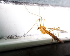 Free Crane Fly Stock Images - 2525824