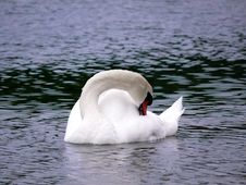 Free Swan Lake Royalty Free Stock Photography - 2527237