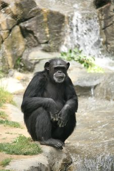 Free Chimpanzee Hanging Out Royalty Free Stock Image - 2528456