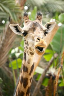 Free Speaking Giraffe Stock Photography - 2528482