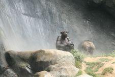 Funny Expressive Chimp Royalty Free Stock Photos
