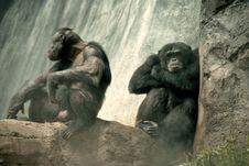 Free Grumpy Old Chimpanzees Stock Images - 2528514