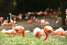 Free Orange Flamingos Royalty Free Stock Photos - 2528518