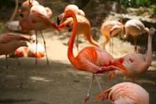 Free Orange Flamingos Stock Images - 2528524