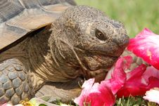 Tortoise With Rose Petals Royalty Free Stock Photography