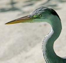Free Heron 1 Stock Images - 2529334