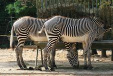 Free Zebras Stock Photos - 2529603
