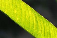Free Big Green Leaf Stock Images - 2529804