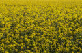 Free Rapeseed Field Royalty Free Stock Photos - 25203488
