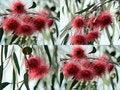 Free Eucalyptus Caesia Collage Stock Photo - 25207150