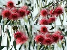 Free Eucalyptus Caesia Collage Stock Photo - 25207150