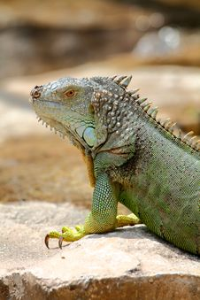 Free Sunbathing Green Iguana Royalty Free Stock Photo - 25209735