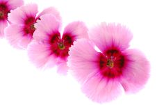 Free Dianthus Flowers Stock Photos - 25209973