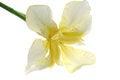 Free Iris Stock Image - 25210501