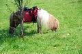 Free Pony Royalty Free Stock Photography - 25211867