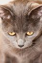 Free Gray Kitty Stock Images - 25216654