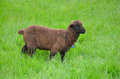 Free Brown Woolly Sheep Stock Photos - 25219483