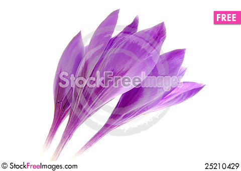 Free Crocus Royalty Free Stock Images - 25210429