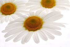Free Chamomile Flowers Royalty Free Stock Images - 25210059
