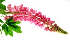 Free Red Lupin Stock Images - 25210094