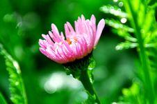 Free Pink Gerber Stock Images - 25210224