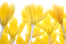 Free Crocus Royalty Free Stock Photos - 25210448