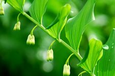 Free Lily Of The Valley Royalty Free Stock Photo - 25210815