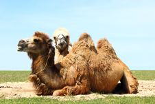 Free Two Camels Stock Image - 25212131